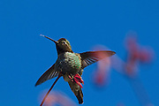 An Anna's hummingbird (Calypte anna) sticks its tongue out as it lands on a maple tree in early spring. Hummingbirds have long, slender tongues that they can extend far beyond the tip of their bill. This allows them to reach the nectaries at the base of flowers. Tiny grooves on the tongue draw fluid into their mouth through a capillary action.