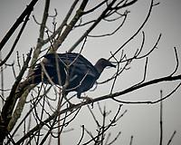 Turkey Vulture (Coragyps atratus). Image taken with a Nikon D850 camera and 600 mm f/4 VR lens