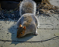 Grey Squirrel Below the Bird Feeder. Image taken with a Fuji X-T3 camera and 200 mm f/2 lens with 1.4x teleconverter (ISO 320, 280 mm, f/5.6, 1/500 sec).