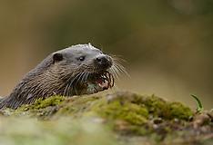 European River Otter