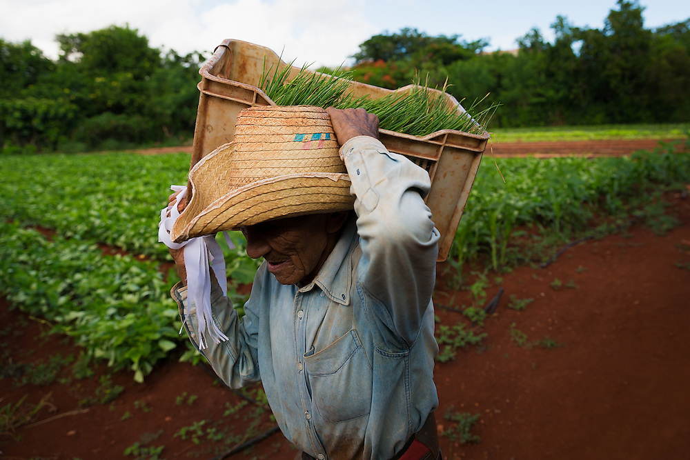 A worker carries fresh chives to a storefront at the Vivero Alamar organoponico in the Alamar municipality of Havana, Cuba. Organoponicos are publically-run urban organic gardens in Cuba aimed at addressing the country's food supply shortages.  (David Albers/Staff)