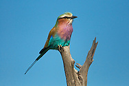 Lilac breasted roller perched in tree in Botswana.