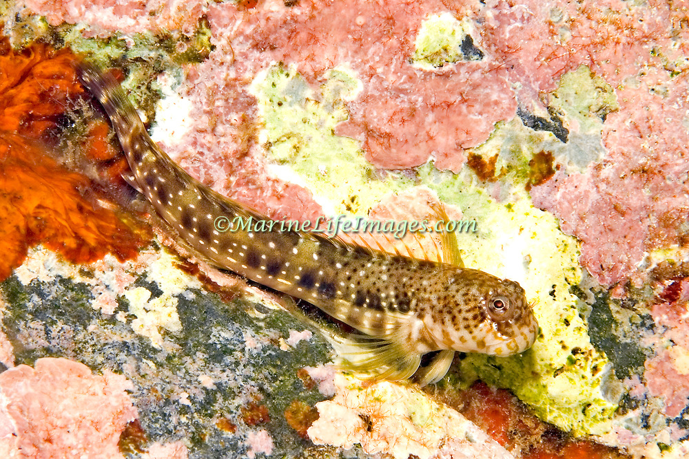 Pearl Blenny inhabit shallow rocky areas with some surge in Tropical West Atlantic; picture taken St. Vincent.