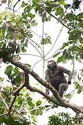Gorilla in the Odzala-Kokoua National Park.