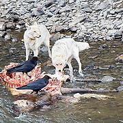 Coyote (Canis latrans) Pair feeding on Elk carcass. Yellowstone National Park.