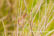 06666-00506 Autumn Meadowhawk (Sympetrum vicinum) male & female copulating in wetland Marion Co. IL