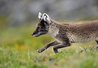 Arctic fox (Alopex lagopus), Svalbard, Norway