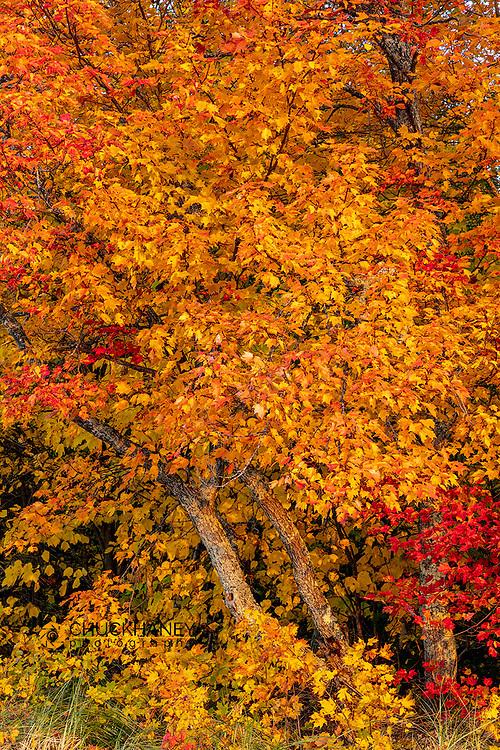 Sugar Maple Leaves in autumn color in the Upper Peninsula of Michigan, USA