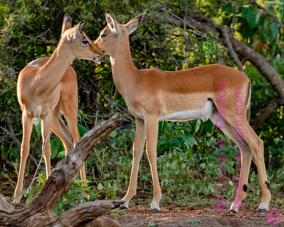 Impala fawns seem to share a tender moment, forest along the bank of the Chobe River, Chobe National Park, Botswana, ©  David A. Ponton