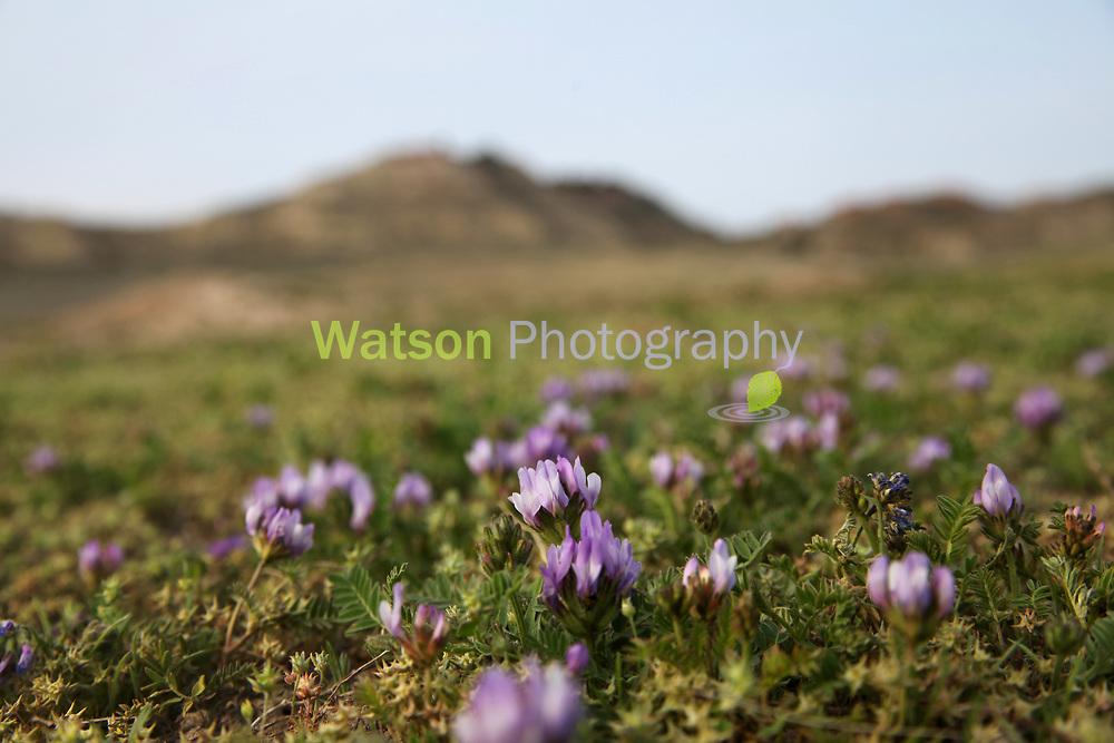 Purple Beauties that Carpet the Desert Floor