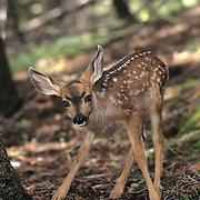 Mule Deer, (Odocoileus hemionus) Spotted fawn. Montana.