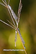 06105-00111 Three Familiar Bluets (Enallagma civile) damselflies in early morning dew, Marion Co.  IL