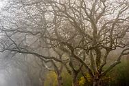 East Hampton, Trees in Fog, Long Island, NY