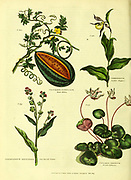 Water melon [watermelon] Cypripedium [Lady's Slipper] Cynoglossum officinale [Hound's Tongue] Cyclamen persicum [Persian Cyclamen or Violet] from Vol 1 of the book The universal herbal : or botanical, medical and agricultural dictionary : containing an account of all known plants in the world, arranged according to the Linnean system. Specifying the uses to which they are or may be applied By Thomas Green,  Published in 1816 by Nuttall, Fisher & Co. in Liverpool and Printed at the Caxton Press by H. Fisher
