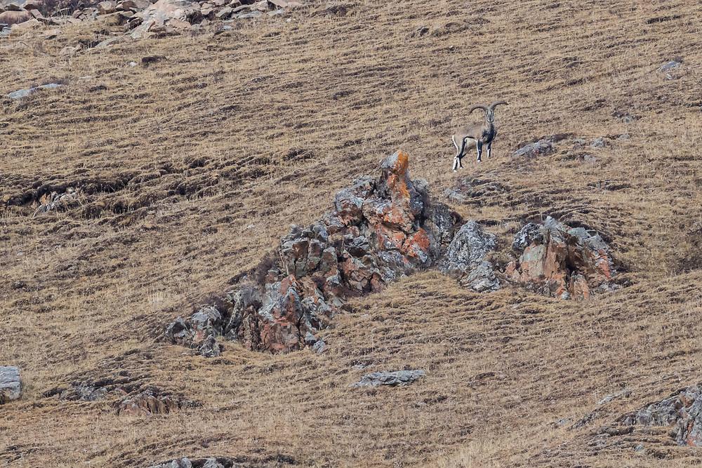 Snow leopard, Panthera uncia, 雪豹。Blue sheep, bharal, Pseudois nayaur, 岩羊。<br /> Serxu, Garze Prefecture, Sichuan Province, China