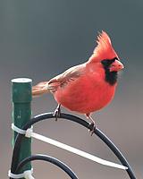 Northern Cardinal (Cardinalis cardinalis).Image taken with a Fuji X-T3 camera and 200 mm f/2 lens + 1.4x teleconverter.