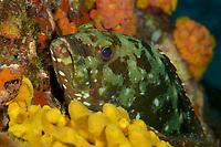 Flag Cabrilla Grouper (Epinephelus labriformis)<br /><br />Canales de Afuera Islands<br />Coiba National Park<br />Panama<br /><br />Manta Point dive site