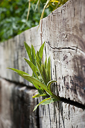 Lobelia tupa shoots pushing through the crack between railway sleepers which make a raised bed at Glebe Cottage