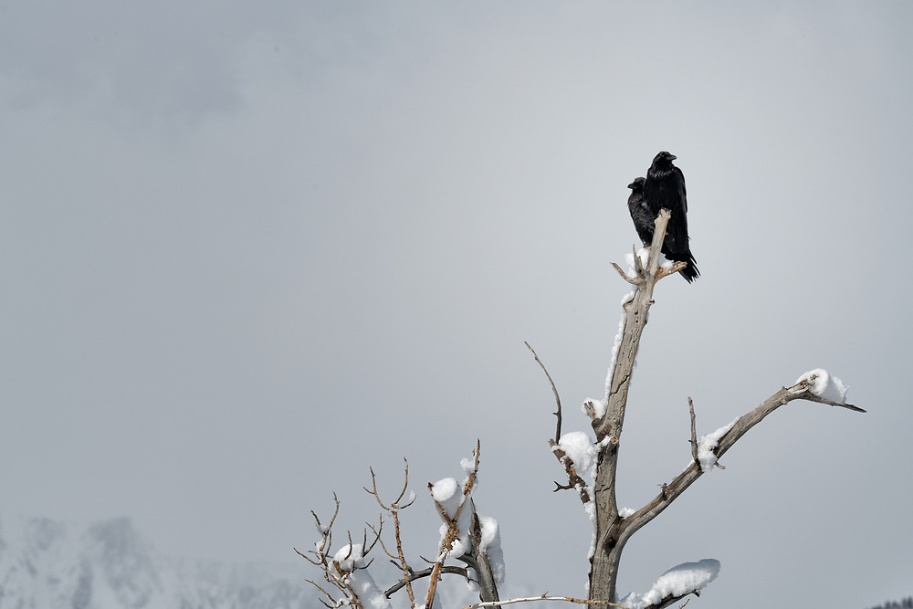 A pair of ravens sit on the top of dead tree along the shores of Mono Lake