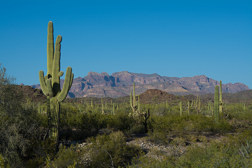 Iconic symbol of the Sonoran Desert and the American Southwest, this saguaro cactus stands tall among the many thousands of others in Southern Arizona near the Mexican border below the Puerto Blanco Mountains.
