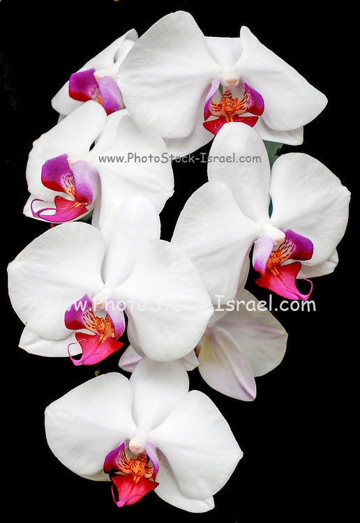 Blooming white Orchid on black background