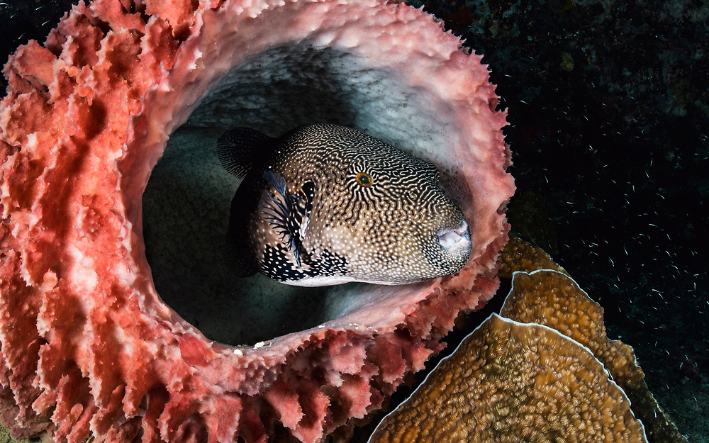A map puffer fish (Arothron mappa) hiding inside a barrel sponge. Image made off Flores, Indonesia.