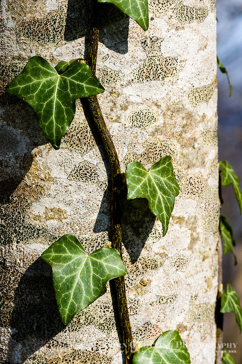 Norway, Stavanger. common ivy.