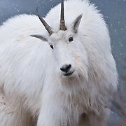 mountain goat glacier park, snowing standing on rocks, mountain goat full frame, mountain goat close snowing,