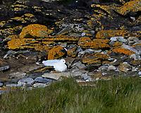 Kelp Goose (Chloephaga hybrida). Image taken with a Leica T camera and 18-56 mm lens.