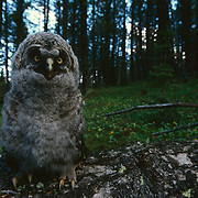 Great Gray Owl fledging out of nest in Montana.