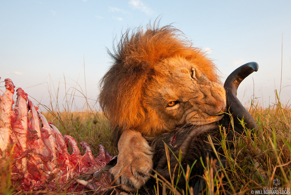 An impressive male lion feeding on a freshly killed wildebeest during the annual migration. The lion had made the kill during the night and I came across him at sunrise, whilst he was still feeding from it. The light was beautiful so I quickly deployed a remote control buggy with my camera mounted on top. The lion continued to eat and completely ignoring the buggy as I slowly manoeuvred it into position in front of him. I took this photo as he gnawed on a particularly tough part of the wildebeest's head!