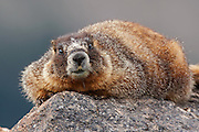 Stock photo of yellow-bellied marmot captured in Colorado.  When alarmed, the marmot will return to it's den and issue a warning or chirp.