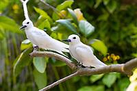 Pair of White Tern Birds in Seychelles