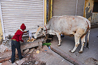Inde, Rajasthan, Jodhpur la ville bleue, le matin les indiens nourrissent les animaux // India, Rajasthan, Jodhpur, the blue city, animal feed