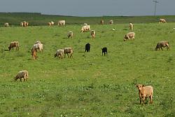 Rebanho bovino na fazenda Santa Helena,  em Encruzilhada do Sul.<br /> FOTO: Jefferson Bernardes / Preview.com