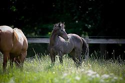 Clone of Levisto Z<br /> Studbook Zangersheide - Lanaken 2009<br /> © Hippo Foto - Dirk Caremans