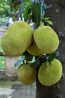 Jackfruit is a species of tree commonly found in Asia and the Pacific. Its Latin name is Artocarpus Heterophyllus.  Jackfruits grow well in the tropics and its fruit is the largest of any fruit-bearing plant.