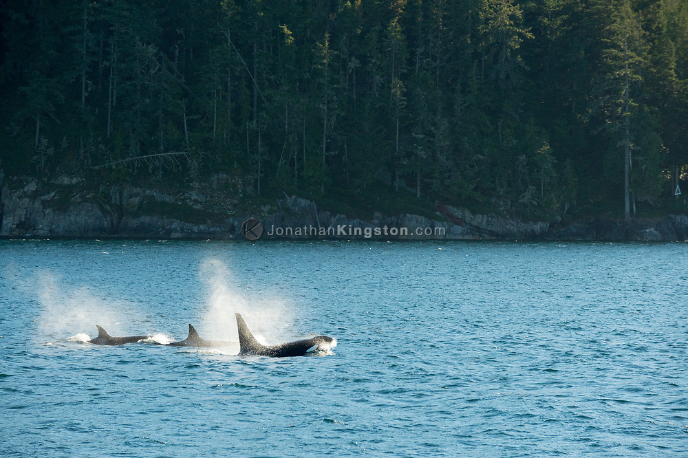 Three killer whales (Orcinus orca) in the waters near Robson Bight, British Columbia, Canada.