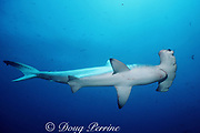 scalloped hammerhead shark, Sphyrna lewini, Endangered Species, Galapagos Marine Reserve, Darwin Island, Galapagos Islands, Ecuador ( Eastern Pacific Ocean )
