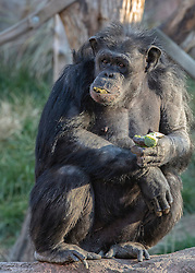 A chimp snacks on some broccoli and peanuts at the Saint Louis Zoo