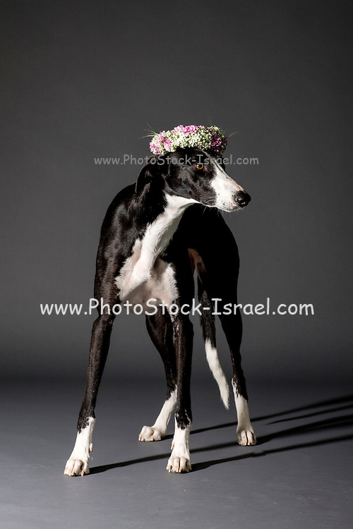 Studio shot of black and white dog with a wreath of flower on its head