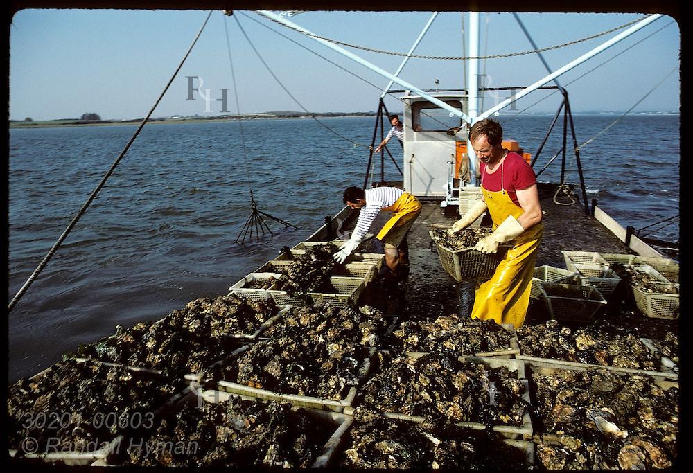 Bernard and Gildas Audic harvest Japanese oysters aboard dredge boat in Gulf of Morbihan. France