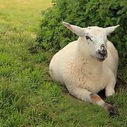 Resting Lamb - Avebury, UK