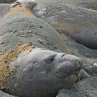 Elephant Seals relax on a beach at Gold Harbor, South Georgia, Antarctica.