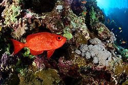 Priacanthus hamrur, Gewoehnlicher Großaugenbarsch, Moontail bullseye, Marsa Alam, Wadi Gimal, Rotes Meer, Ägypten, Red Sea, Egypt