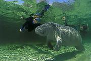 snorkelers and Florida manatee, Trichechus manatus latirostris, Three Sisters Spring, Crystal River National Wildlife Refuge, Crystal River, Florida
