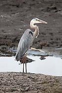 Great Blue Heron surveying the area at Montezuma National Wildlife Refuge.