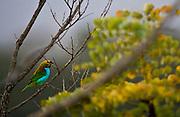 Itabirito _ MG, Brasil..Saira-sete-cores ou brasileirinho no galho de uma arvore em uma floresta...Saira-sete-cores or brasileirinho in branch of tree in a forest...Foto: JOAO MARCOS ROSA /  NITRO