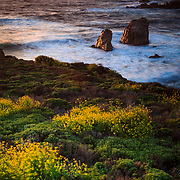 Cinquefoil carpets the coastline near Monterey, California