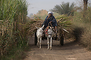 A local man with his mule and cart leaves the fields laden with sugarcane near Qurna, a village on the West Bank of Luxor, Nile Valley, Egypt. In Egypt, sugar cane juice is called aseer asab and is by far the most popular drink served by almost all fruit juice vendors, who are abundant in most cities. It is sold by roadside vendors, where the juice is squeezed fresh when ordered. Raw sugar cane juice can be a health risk to drinkers due to the unhygienic conditions under which it is prepared. There are some diseases that can be transmitted by raw sugar-cane like Leptospirosis